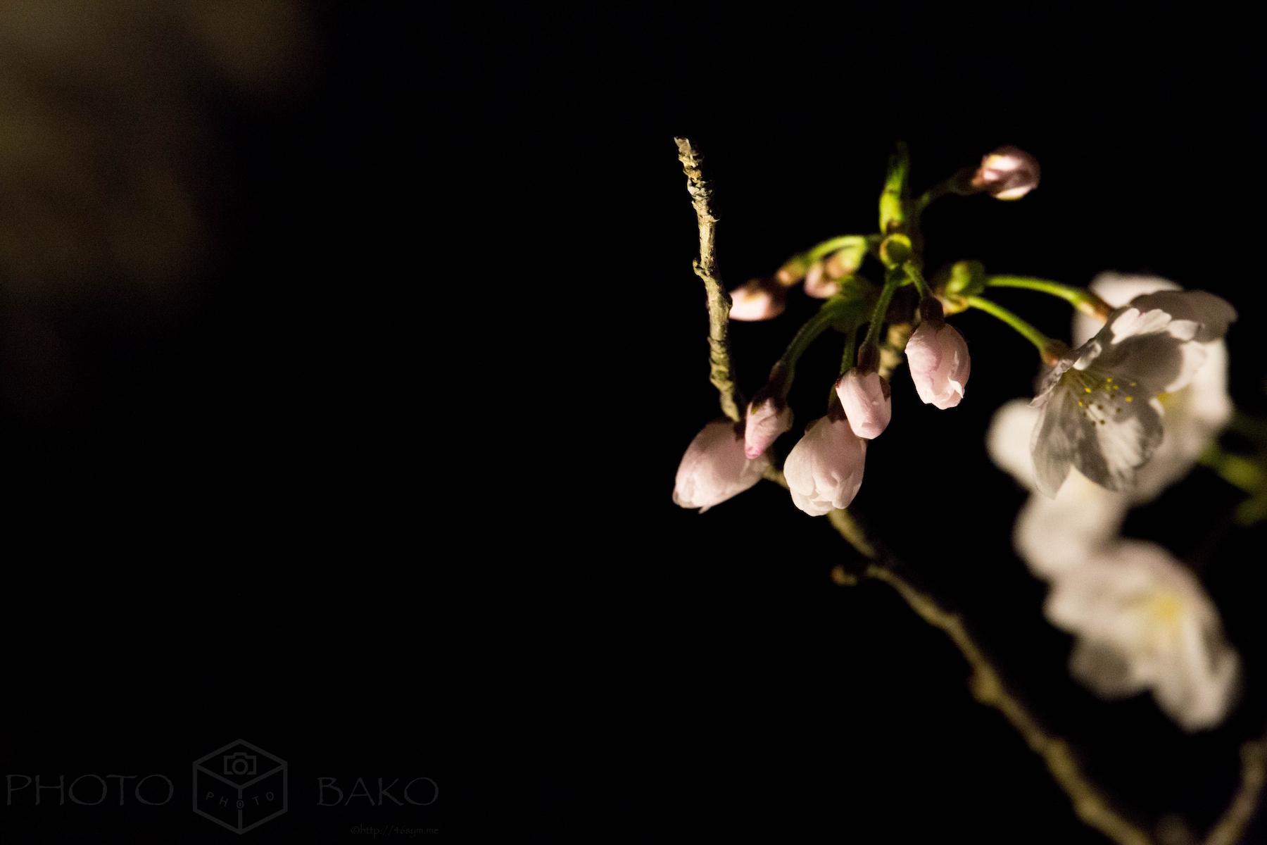 【ライトアップ夜桜】5D mark3とSIGMA 150-600mmで楽しむ「夜と桜」【作例写真多数】