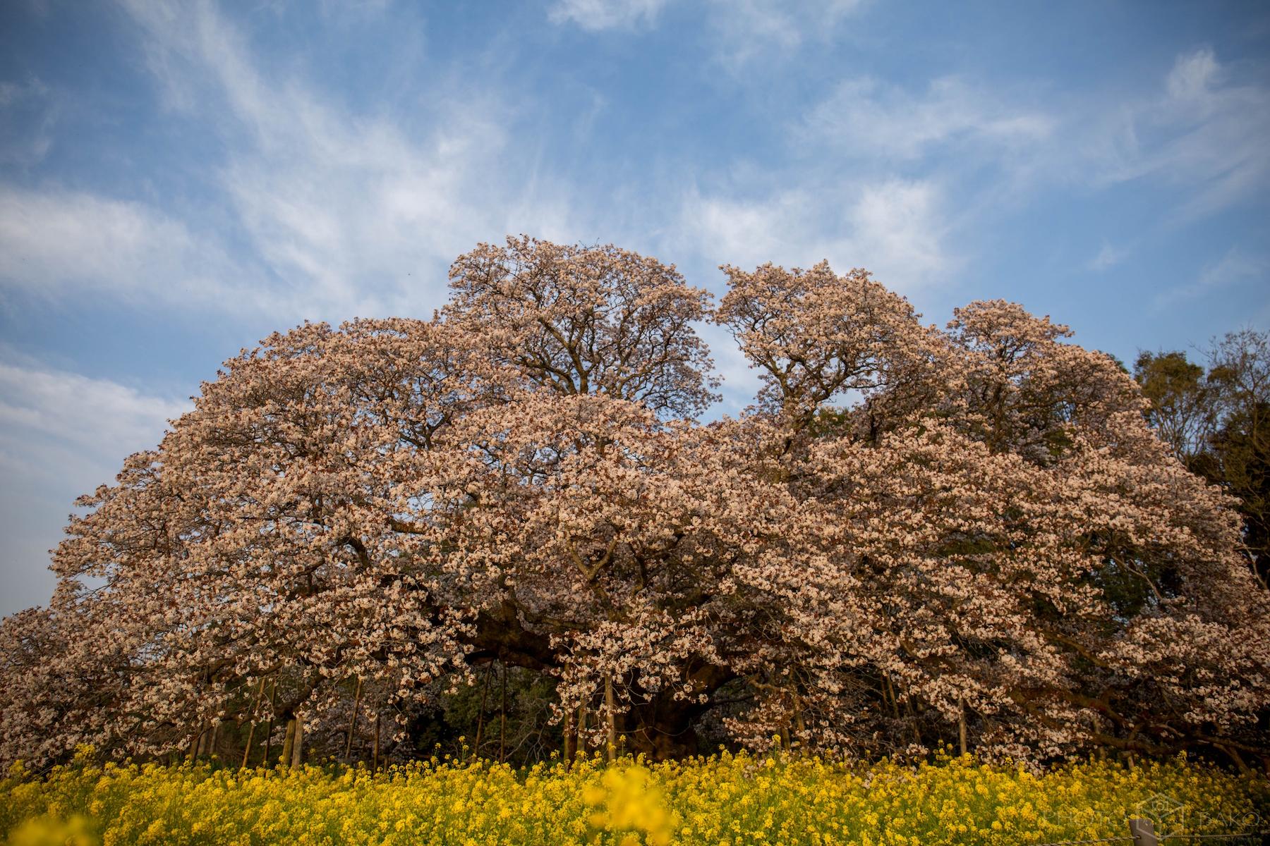 【千葉県撮影スポット】2017年の桜納めに吉高の大桜に行ってきた【千葉県印西市】
