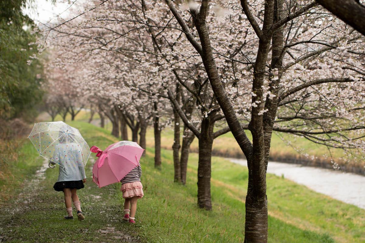 【作例写真多数】SONY α6500とEF100mm F2.8L マクロ IS USMで楽しむ「雨と桜」