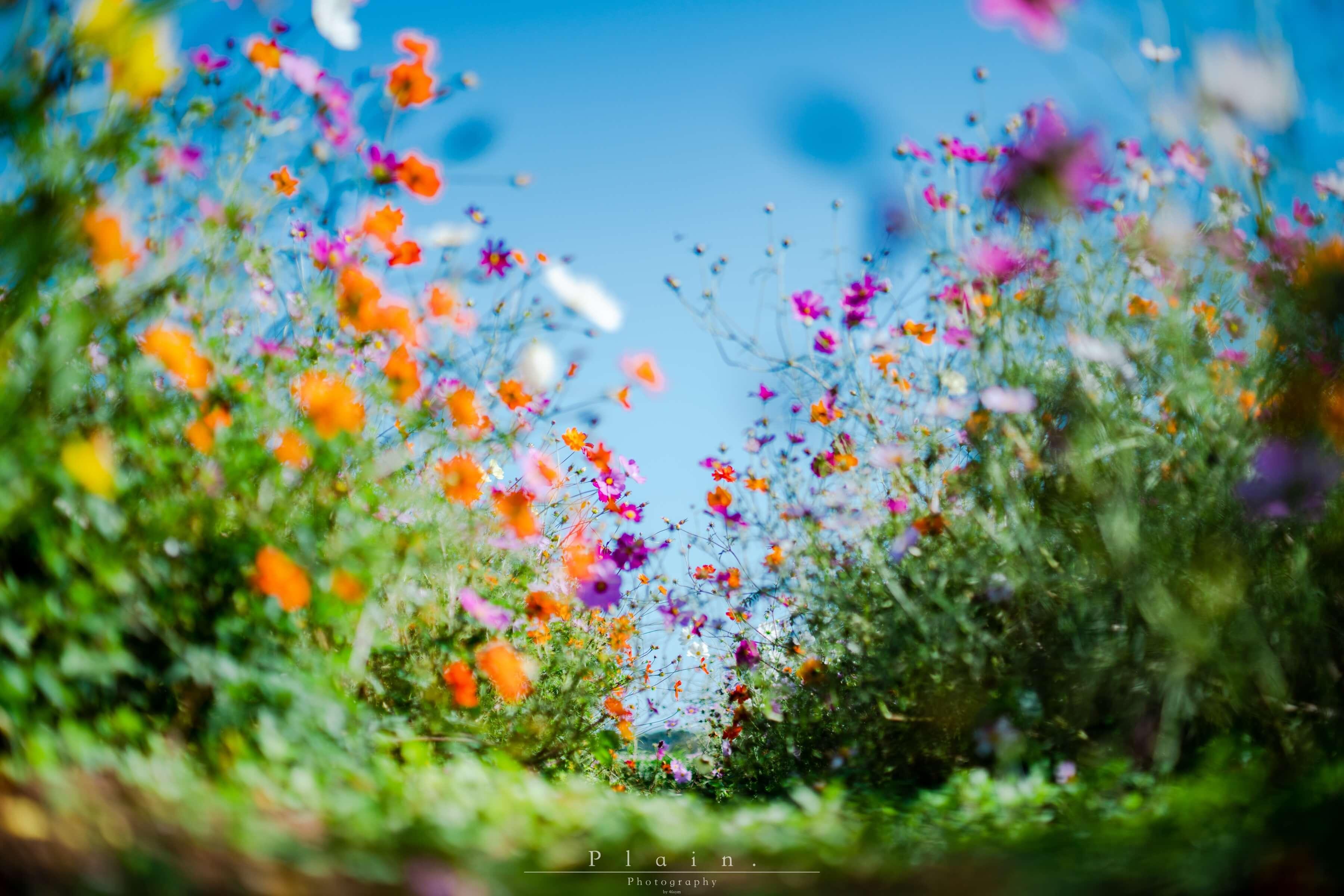 【千葉県撮影スポット】富田さとにわ耕園のコスモスを撮ってきたよ
